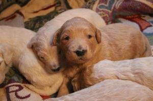 puppy pile